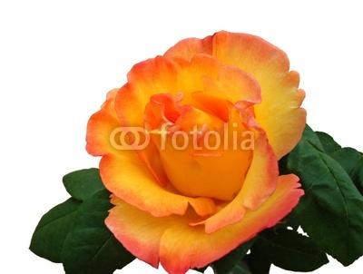 Rose jaune-orangée