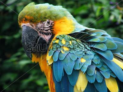 Perroquet Ara d'Amazonie